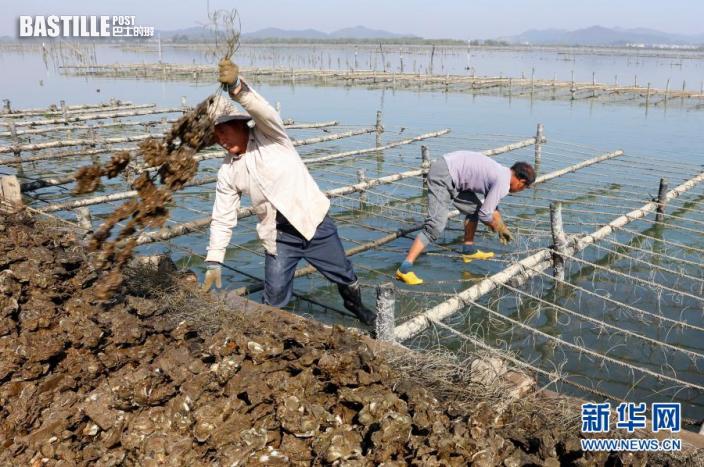 1月13日,廣東陽西縣程村鎮紅光村村民在收蚝。