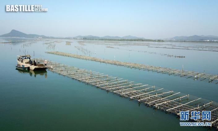 這是1月13日拍攝的廣東陽西縣程村鎮紅光村生蚝養殖基地(無人機照片)。