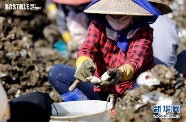 1月13日,廣東陽西縣程村鎮紅光村村民在分揀清洗鮮蚝。