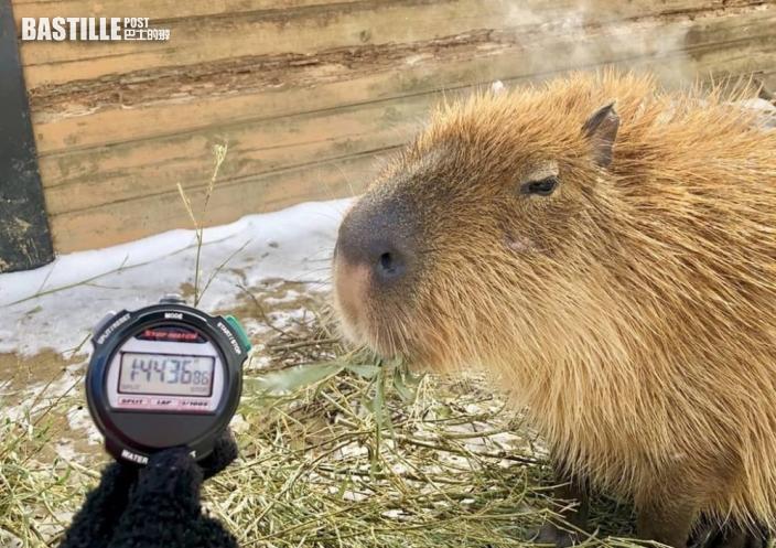 日本動物園辦水豚泡溫泉比賽 那須動物王國「選手」104分鐘奪冠