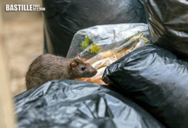 食環署滅鼠成效低致鼠患嚴重 申訴專員主動調查