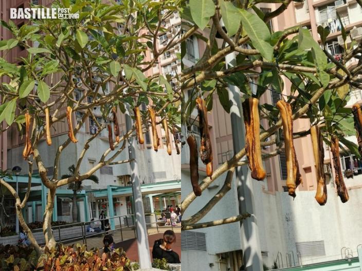 【Juicy叮】柴灣屋邨驚現「臘肉樹」 網民:以為豬籠草