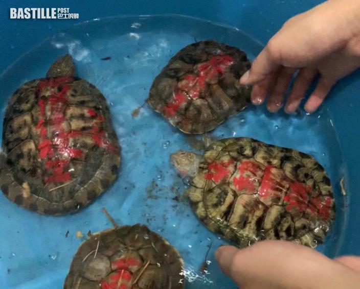 義工大埔碗窰撈大批龜屍 救出17隻龜背被寫「放生」字眼