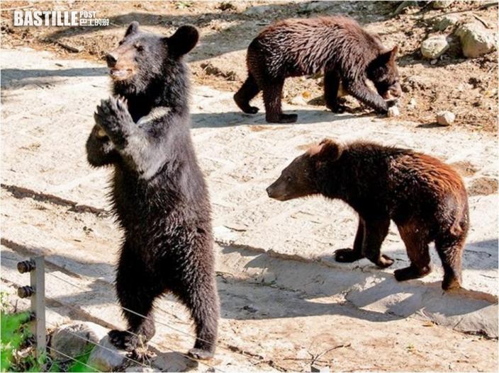 網傳動物園員工假扮黑熊 園方無奈澄清:都是真熊
