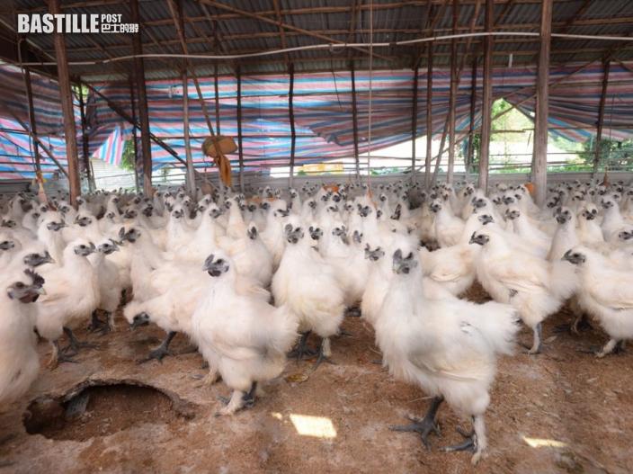 波蘭部分地區再爆禽流感 港暫停進口禽類產品