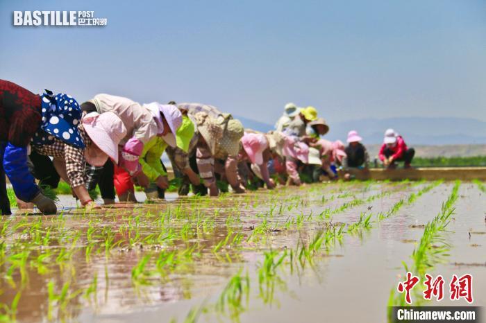 袁隆平超級雜交水稻「超優千號」在雲南紅河移栽大田