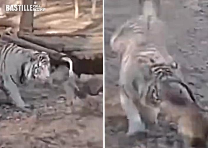 兩虎企圖偷襲大白鵝遭反撲 頓失霸氣落荒逃