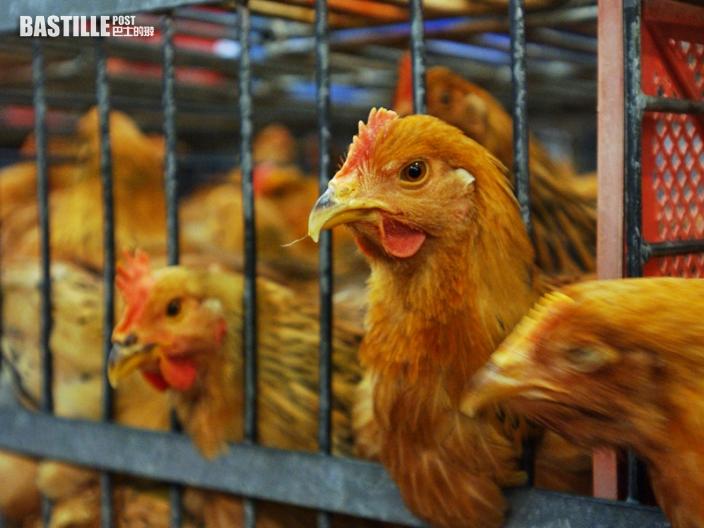 波蘭部分地區爆發H5N8禽流感 港暫停進口禽類產品