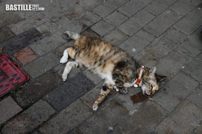 花貓疑被車撞傷 吐血倒臥深水埗街頭