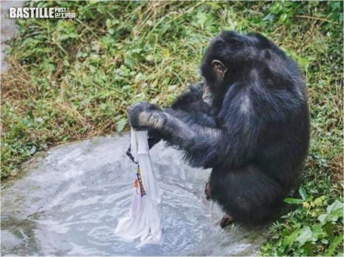 黑猩猩喜愛洗衫獲頒「勞動證書」 網民:比我還愛勞動
