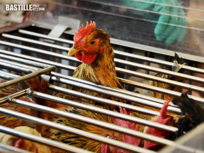 波蘭再有地區爆發H5N8禽流感 港暫停進口禽類產品