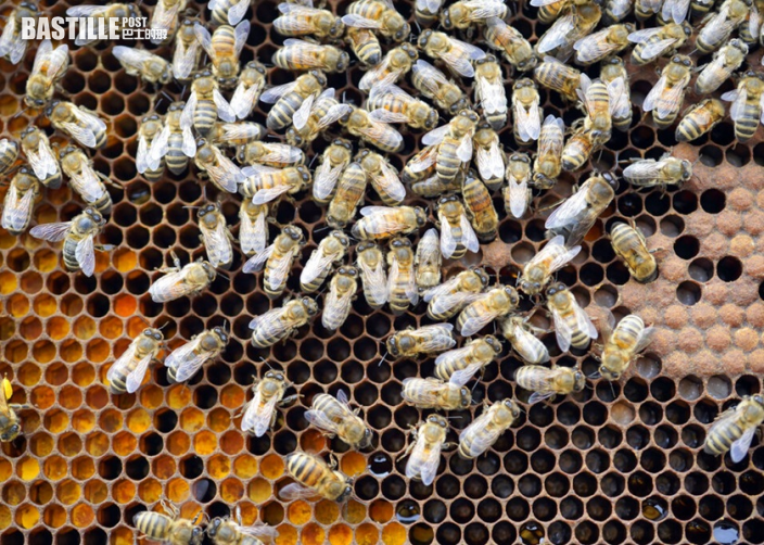 荷蘭科學家成功訓練蜜蜂 以嗅覺辨別新冠病毒
