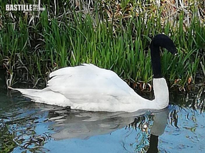 英國天鵝遭人惡意用黑襪套頭頸險死 警方介入調查