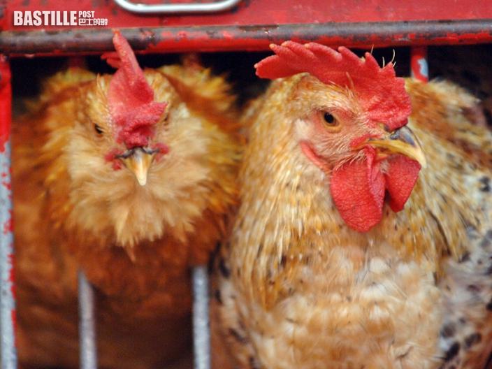 南非部分地區爆H5禽流感 禽類產品暫停進口