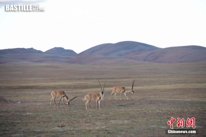 圖為西藏自治區那曲市雙湖縣境內的藏羚羊。貢嘎來松 攝