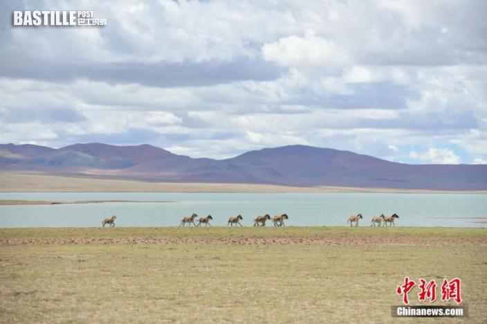圖為西藏自治區那曲市雙湖縣境內的藏野驢。貢嘎來松 攝