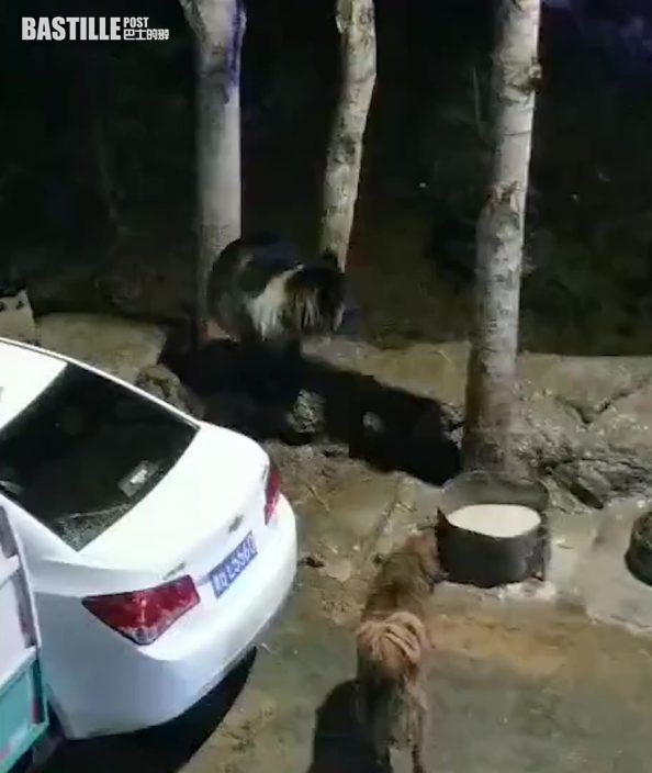 【有片】熊媽媽攜兩小熊下山覓食被藏獒嚇跑