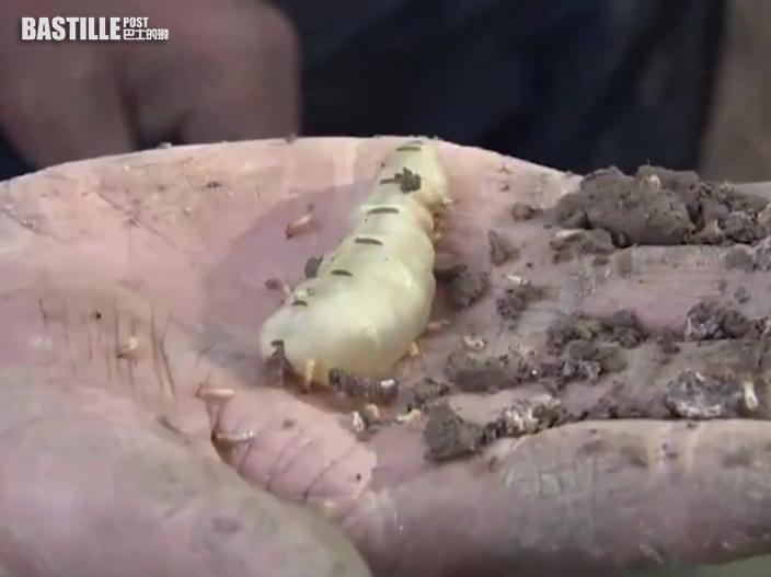 湖北發現60多年的超大蟻穴 蟻王蟻后體長5厘米