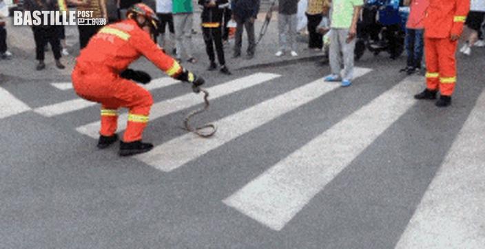 大蛇攔路 嚇壞行人消防徒手捉走