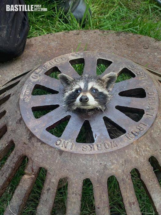 小浣熊頭卡水渠蓋 水汪汪睜大眼求救超萌