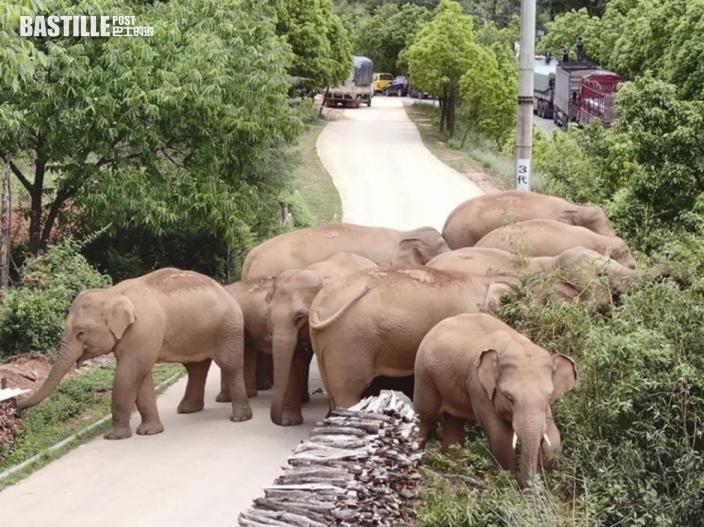 雲南象群沿路破壞農作物 官方承諾賠償居民