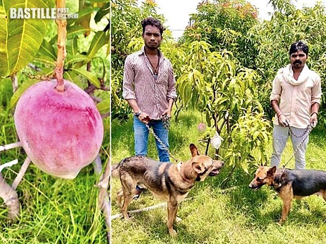 印度農夫種出天價芒果 急聘保安守護「搖錢樹」