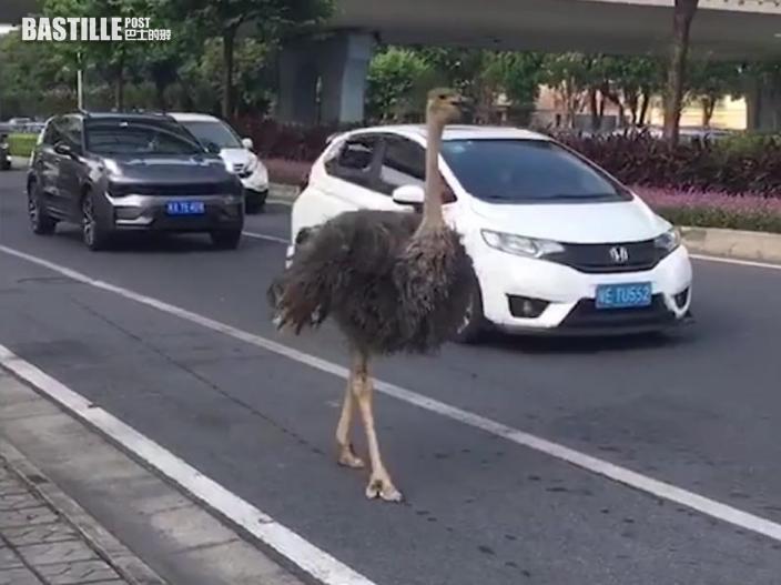 廣東佛山大道驚現巨大鴕鳥 優雅前行魔性步伐爆紅網絡