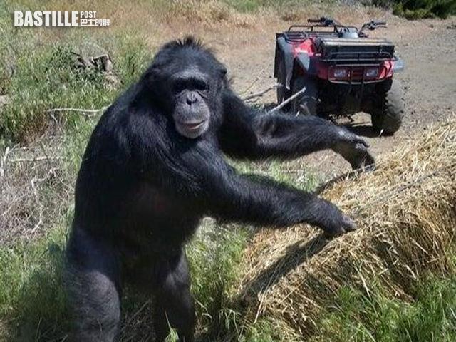 【有片】飼養17年黑猩猩突失控攻擊 主人報警同意開槍擊斃