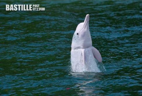 中華白海豚現身廣東佛山水域