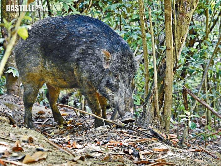 【新聞追擊】市區出沒擾民十年增四倍 野豬覓食毀植被恐致山泥傾瀉