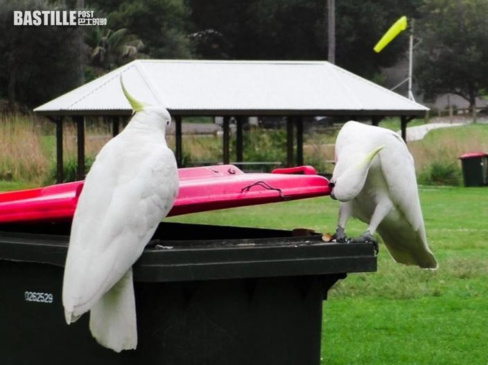 澳洲鸚鵡互相學習打開垃圾桶蓋覓食 會開的地位更高