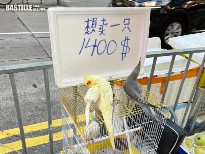 【Juicy叮】元朗疑有人非法擺賣動物 雀鳥羽毛有被剪痕跡