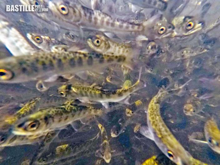 加州三文魚業面臨「暖水」浩劫