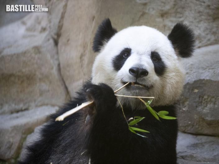 中國旅法大熊貓歡歡 未來兩天將誕雙胞胎