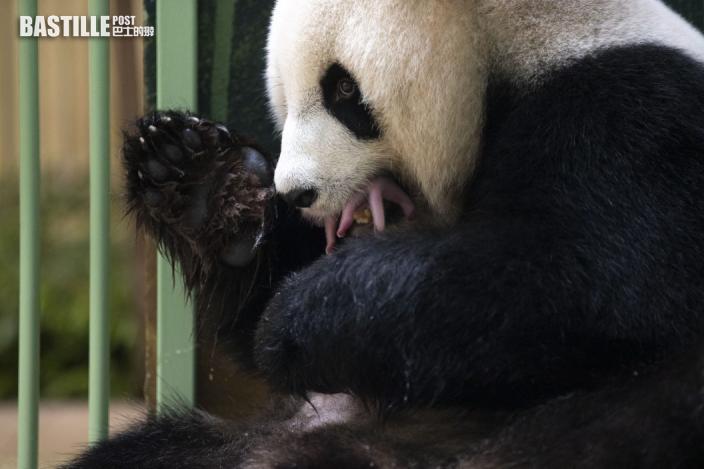 中國旅法大熊貓「歡歡」 順利誕下雙胞胎