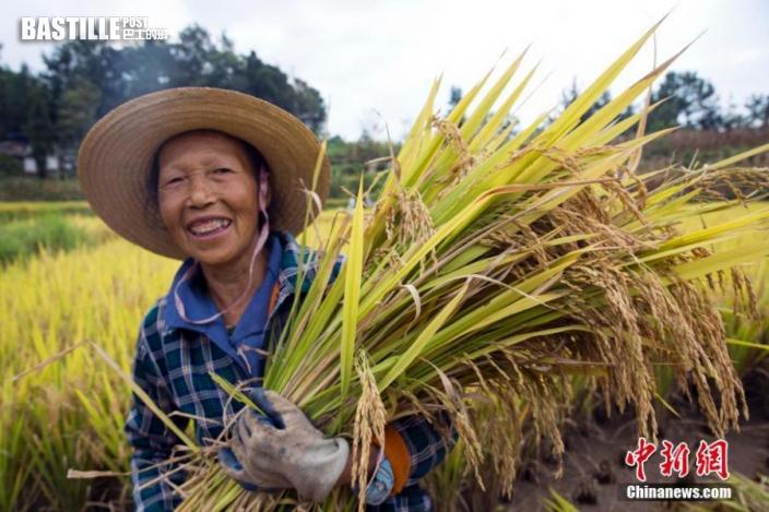 9月23日,2021年中國農民豐收節·第一屆「天生雲陽」金秋節在重慶雲陽縣鳳鳴鎮拉開序幕。時下正是豐收的季節,三峽庫區腹地重慶雲陽縣的農民門正忙著搶收搶曬,確保水稻玉米等農作物顆粒歸倉。圖為農民喜獲豐收。中新社