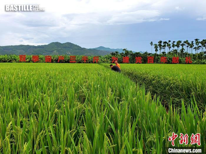 正處於灌漿結實期的水稻。