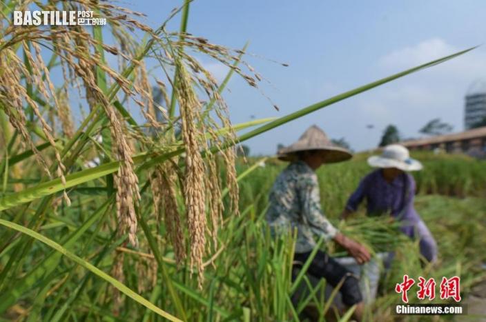 村民們正在收割「巨型稻」。