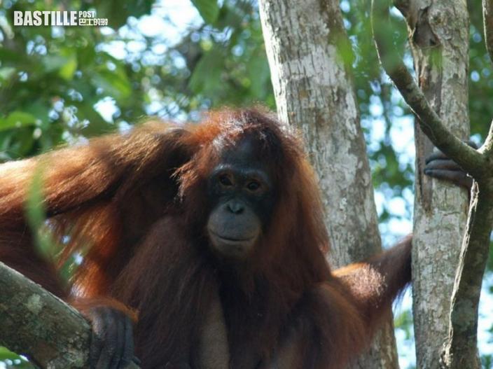紅毛猩猩淪人類性奴被虐6年 獲救多年仍難回正常生活