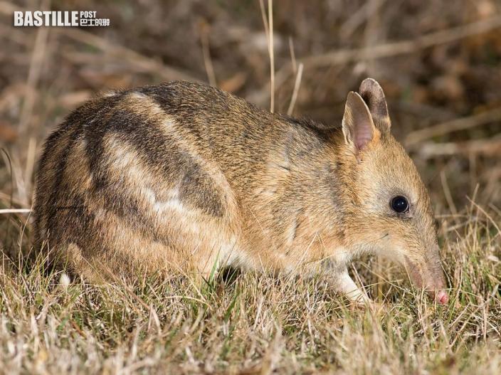 澳洲加氏袋狸幾近滅絕 保育專家罕見成功復育逾千隻