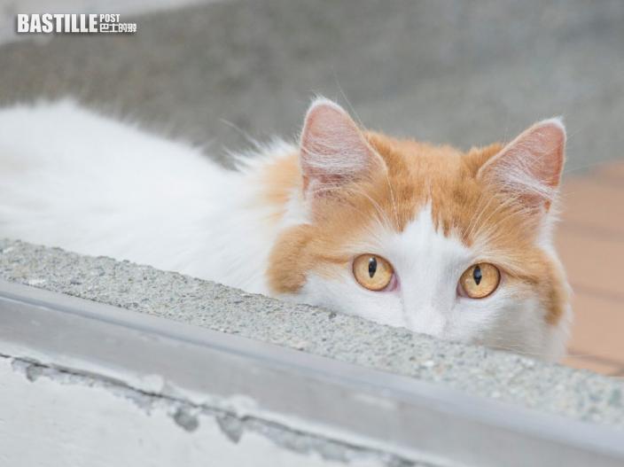 國寶萬恩貓被指最好鬥 土耳其貓專家批不公允