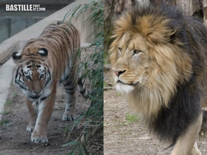 華盛頓國家動物園9獅子老虎 確診感染新冠肺炎