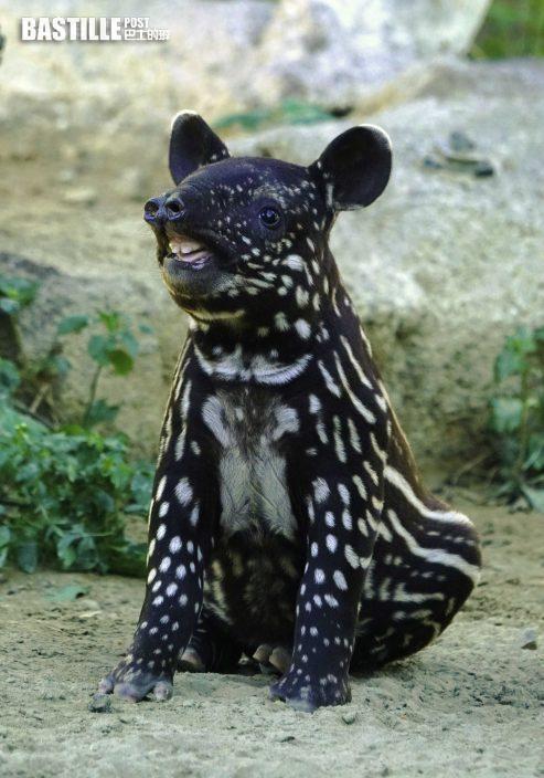 台北動物園迎來BB馬來貘 跳跳紮萌爆全場