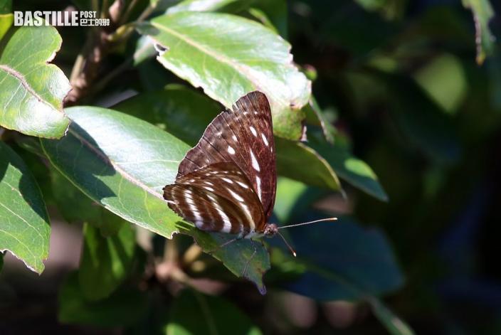 龍鼓灘現非常罕見普福來灰蝶 環團發現鹿頸龍鼓灘品種最多