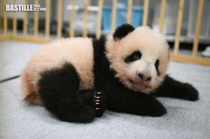 上野動物園熊貓雙胞胎徵名 「曉曉」「蕾蕾」獲選